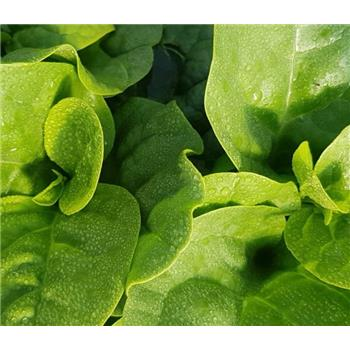 New Zealand spinach (250g)